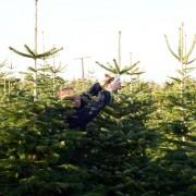 AleChoinki plantacje choinek (8)