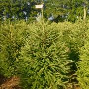 Świerk pospolity cięty na naszej plantacji