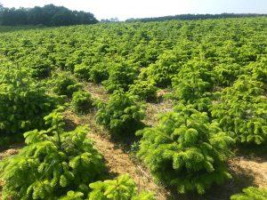 plantcje choinki